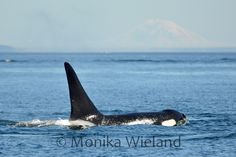 J30 Riptide. Born to J14 Samish in 1995, disappeared spring of 2012 Photo by Monika Wieland