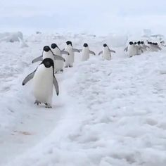 The Animals, Cute Little Animals, Nature Animals, Cute Funny Animals, Beautiful Photos Of Nature, Beautiful Birds, Animals Beautiful, Pinguin Video, Cute Penguins