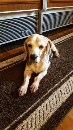 Found Dog Papillon Sugar Hill Ga United States Dogs Found
