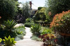 Photo 4 - Georgina Martyn Agave attenuata as the sculptural accent planting amongst an array of other softer shapes such as Aeonium, Festuca, Iris and Kniphofia, and Rosmarinus, just to name a few.