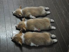 The Triple Crown of Corgi Cuteness: three Pembroke Welsh Corgi puppies napping. The post 6 Corgi Puppies Sleep Their Way Into Your Heart appeared first on Bruce Kennels. Cute Corgi Puppy, Corgi Dog, Cute Puppies, Cute Dogs, Dogs And Puppies, Teacup Puppies, Husky Dog, Cute Baby Animals, Funny Animals