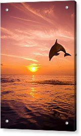 Bottlenose Dolphin (tursiops Truncatus) Jumping Out Of Water, Sunset Acrylic Print by Rene Frederick