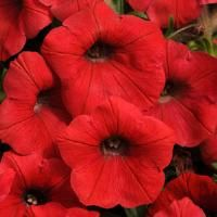 New Petunia-Shock Wave Red-Expect the to flowers in continuous bloom from mid-spring 'til early fall! These blooms self-clean, keeping the plant even more attractive and carefree. All Flowers, Beautiful Flowers, Annual Flowers, Colorful Flowers, Petunia Flower, Petunia Care, Easy Waves, Shock Wave, Annual Plants