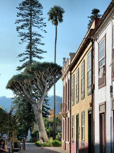 Arbol drago en un parque del centro histórico de La Laguna #Canarias
