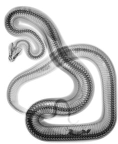 © Steve Miller, 2011, Law Of The Jungle In this x-ray, the visceral innards of a snake are exposed, uncovering a mouse resting in the lower parts of its tail. The transparent body of the reptile folds and unfolds along its dark vertebrae in harmonious loops until it reaches the small head, thereby forming an elegant and unexpected composition. Miller is an artist whose knowledge of visual culture and technology allows him to create works that are both densely intellectual and aesthetically…