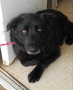 URGENT! Kill Shelter! Pictures of Shep a young male Belgian Shepherd for adoption at Upson County Animal Shelter, Thomaston, GA who needs a loving home.