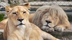 Close up portrait of a white lion and a lioness Stock