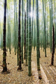 ✯ Bamboo Forest