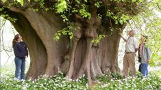 Great Holker lime, Cumbria (credit: The Tree Council)
