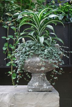 Urn filled with Variegated Dracaena and Silver Pilea...Deborah Silver