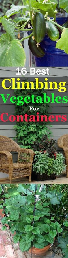 Take a look at this informative list of best climbing and vining vegetable for containers. These vegetables are productive and take your vertical space to grow! #GardeningTips