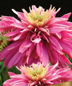 Echinacea 'Red Baron'