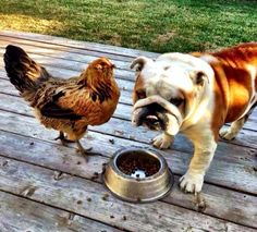 """❤ """"Mom --- isn't the chicken suppose to ALREADY be in my bowl?"""" ❤ Posted from I love English Bulldogs English Bulldog Funny, English Bulldog Puppies, British Bulldog, English Bulldogs, Wooly Bully, Bully Dog, Animals And Pets, Cute Animals, Cute Bulldogs"""