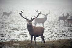 Royal Stag Monarch Of The Glen, Deer, Moose Art, Wildlife, About Me Blog, Mood, This Or That Questions, Pictures, Photos