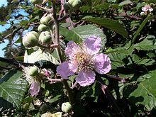 Rubus ulmifolius - Wikipedia, la enciclopedia libre
