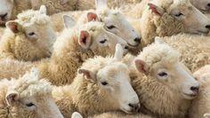 Australische schapen plegen massaal zelfmoord, hln.be,20/05/14 (niet- Europees)