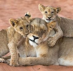 Two Lion Cubs Loving Their Mother.