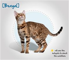 Did you know that the Bengal's exotic look comes from a cross between a domestic cat and the African Leopard Cat? Read more about this breed by visiting Petplan pet insurance's Condition Checker!