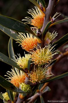 Hakea cinerea - Ashy-leaved Hakea, Ashy Hakea - © All Rights Reserved - Black Diamond Images Australian Wildflowers, Australian Native Flowers, Australian Plants, Unusual Flowers, Rare Flowers, Wild Flowers, Beautiful Flowers, Garden Shrubs, Garden Plants