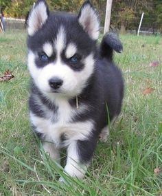 Super blue eyes siberian husky puppies for lovely homes Super blue eyes siberian husky puppies for lovely homes She also has lots of spirit and personality. Shes great with kids and does well with other pets.