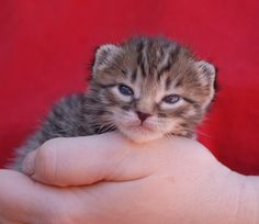 Travis and other motherless newborns urgently need foster heroes!  Please help: http://nevadaspca.blogspot.com/2015/04/foster-heroes-needed-please.html