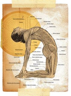 Ustrasana~~~(oosh-TRAHS-anna)  ustra = camel.     Benefits Stretches the entire front of the body, the ankles, thighs and groins, Abdomen and chest, and throat Stretches the deep hip flexors (psoas) Strengthens back muscles Improves posture Stimulates the organs of the abdomen and neck