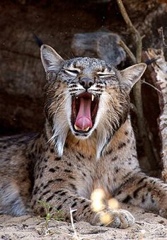 The Iberian #lynx (Lynx Pardinus) is an endemic #feline from the #Iberian Peninsula and is considered to be a critically endangered species. Only around 300 lynxes are still alive today, compared with the 4000 in 1960. This makes them the most endangered felines in the world. Find out how the Iberian Lynx is being preserved in #Spain and #Portugal from the article at http://one-europe.info/bringing-back-the-iberian-lynx