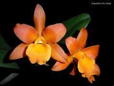 "Rth.Oro Verde Áureo ""#1""      (Rth.Pokai Tangerine x Ryn.Daffodil)"