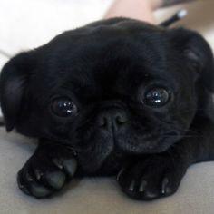 The cutest pug ever!