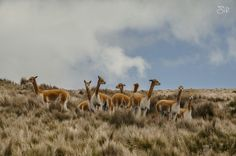 Vicuña family by Carlos Sirfierro on 500px