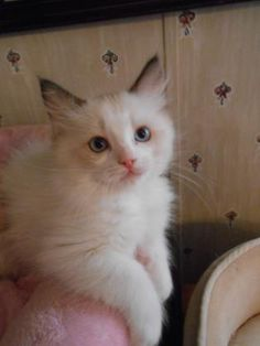 TICA AND CFA VANILLABELLE FLAME COLORPOINT MALE RAGDOLL CAT