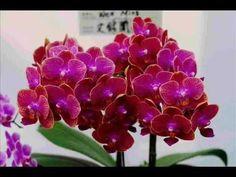 Orhideák, Fehér orhideák,Páger Antal Tolnai Klári Fat Women, Taiwan, Plants, Blog, Fat Lady, Google, Youtube, Bouquets, Flowers