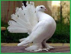 Gambar terkait Pigeon, Pastel Colors, Bird, Animals, Pastel Colours, Animales, Animaux, Birds, Animal