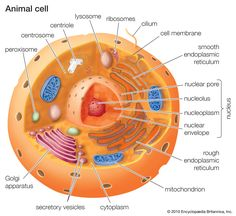 Animal Cell | Biology Pictures: Animal Cell Diagram