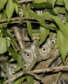 OMG!  Lots of cute and curious young Eastern Screech owls.