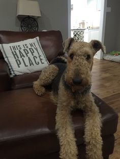 my Airedale terrier!