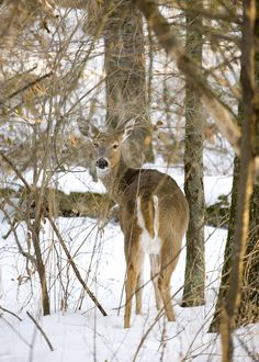 A deer in Minnesota's Boundary Country. i see deer everyday and it never gets old. All Nature, Oh Deer, Winter Activities, Animal Pictures, Deer Pictures, Outdoor Pictures, Winter Scenes, Go Camping, Winter White
