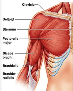 The Biceps Brachii - Muscle of the Month! Pectoral muscle anatomy of the chest and upper arm (pectoral muscle: any of the… loss plans women Shoulder Muscles, Chest Muscles, Thigh Muscles, Arm Muscle Anatomy, Muscle Diagram, Bicep Muscle, Yoga Anatomy, Medical Anatomy, Human Anatomy And Physiology