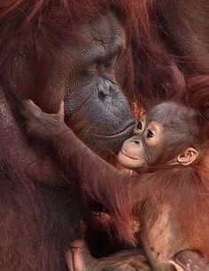 Orangutan mom and baby Primates, Mammals, Cute Baby Animals, Animals And Pets, Strange Animals, Beautiful Creatures, Animals Beautiful, Animals Amazing, Animal Hugs