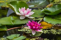 Pond Lilies   by just joani