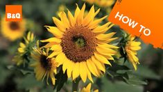 How to Grow Sunflowers at home. So, you can have big bright happy flowers that shine just like the summer sun. Truly, who, doesn't like sunflowers?  click the image to see the full 3 minute video tutorial now!