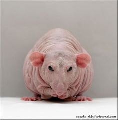 Dumbo Hairless Rat, for some reason I think this rat is adorable.