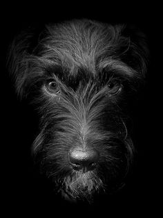 Patterdale Terrier---awesome pic