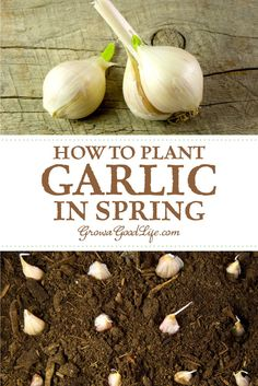 Garden Ideas Discover Planting Spring Garlic Has your winter storage garlic sprouted? Try planting spring garlic. You may not get large bulbs but the cloves will still have all the flavor regular garlic. Read on to see how to plant garlic in spring. Planter Ail, Organic Gardening, Gardening Tips, Gardening Books, Beginners Gardening, Spring Garlic, Planting Garlic In Spring, Garlic Sprouts, Comment Planter