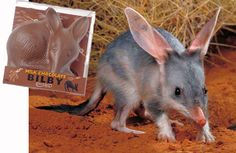 Get Hopping, It's The Easter Bilby Easter Bilby, How To Make Traps, Rabbit Eating, Cat Traps, Raising Rabbits, Easter Chocolate, Feral Cats, Lemur, Western Australia