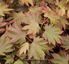 Acer palmatum 'Autumn Glow' - Japanese Maples › Palmatum | Maplestone Ornamentals