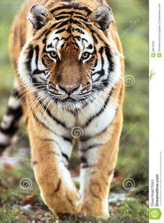 walking tiger pics - Google Search
