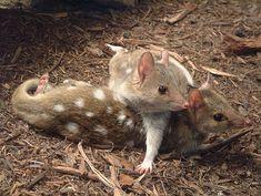 a pair of Australian EASTERN QUOLL  Dasyurus viverrinus  By Michael J. Barritt