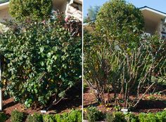 Encourage gorgeous blooms year after year with this time-tested advice on how to prune your rosebush for health and shape Garden Yard Ideas, Love Garden, Easy Garden, Garden Landscaping, Home And Garden, Backyard Ideas, Organic Gardening, Gardening Tips, Pruning Roses