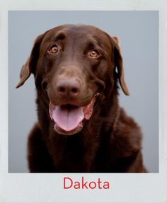 Keep your eyes open and your food up high… meet Dakota! Kong Company, Dog Test, Office Dog, Love Of My Life, Dog Love, Fur Babies, Labrador Retriever, Meet, Cats